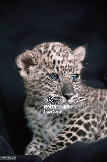 snow leopard cub - cub stock pictures, royalty-free photos & images