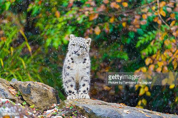 snow leopard cub watching the snow fall - leopardo delle nevi foto e immagini stock