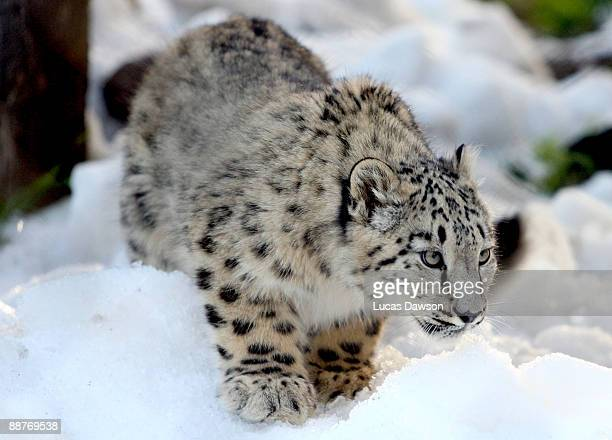 Snow Leopard enjoys the snow as snow and ice sculptures are installed to create a winter wonderland at Melbourne Zoo on July 1, 2009 in Melbourne,...
