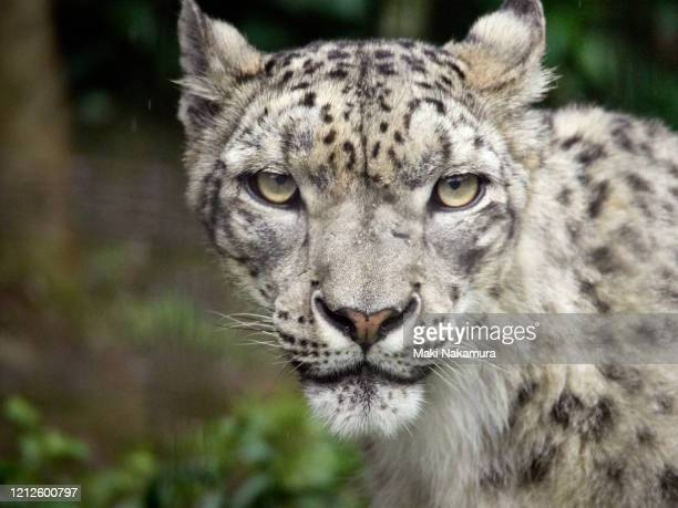 snow leopard face from the front. - animal body stock pictures, royalty-free photos & images
