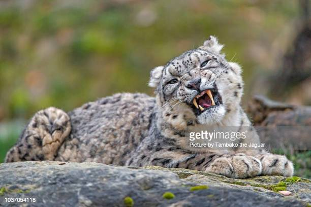 snow leopard finishing to yawn - big cat stock pictures, royalty-free photos & images