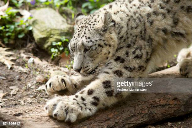 A snow leopard in its enclosure at the Bronx Zoo on April 27 2017 in the Bronx New York