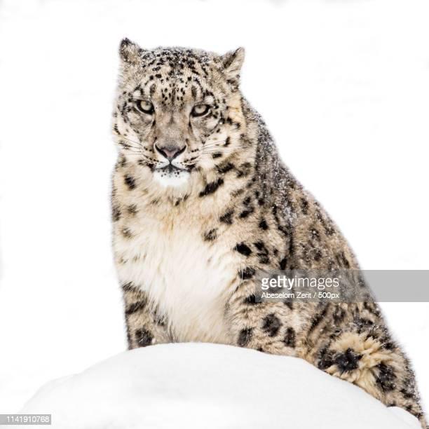 snow leopard in snow xx - leopardo delle nevi foto e immagini stock