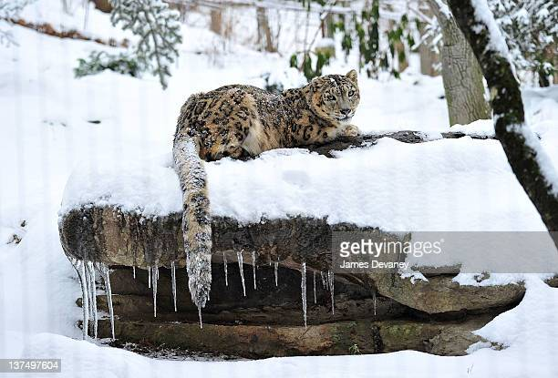 A snow leopard is seen at the Bronx Zoo after a snow storm on January 21 2012 in the Bronx borough of New York City