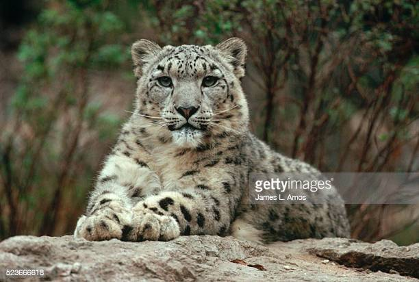 Snow Leopard Laying on Rock