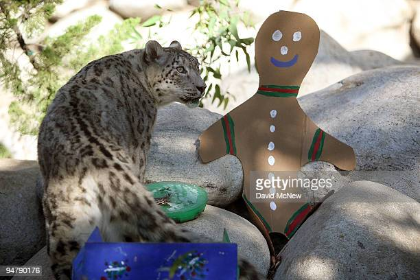 A snow leopard looks at a cardboard cutout at the Los Angeles Zoo and Botanical Gardens on December 18 2009 in Los Angeles California A pair of rare...