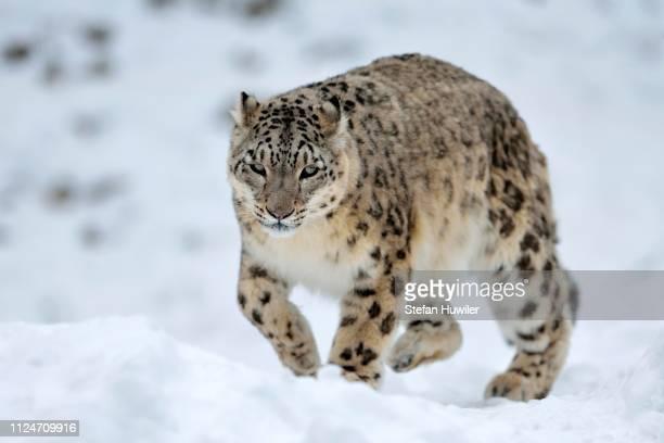 snow leopard (panthera uncia), male in the snow, - leopardo delle nevi foto e immagini stock