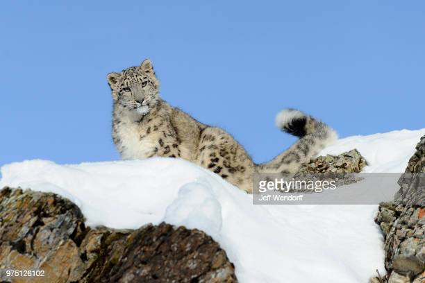 Snow Leopard (Uncia uncia) on rock covered with snow, Kalispell, Montana, USA