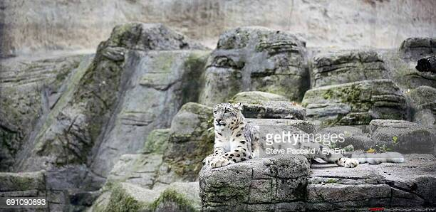 Snow Leopard On Rock Formation