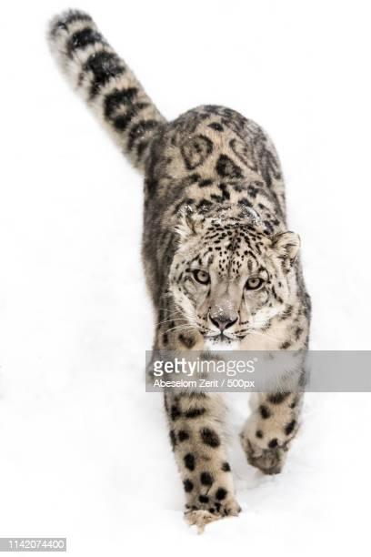snow leopard on the prowl ix - leopardo delle nevi foto e immagini stock