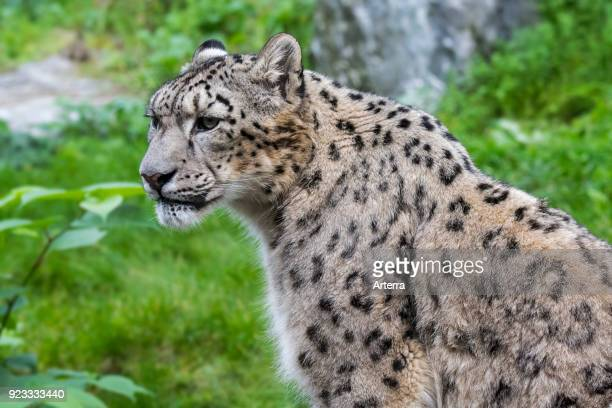 Snow leopard ounce native to the mountain ranges of Central and South Asia