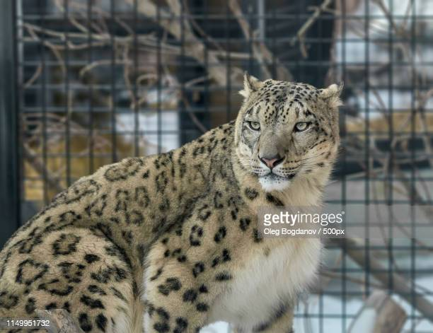 snow leopard - underground sign stock pictures, royalty-free photos & images