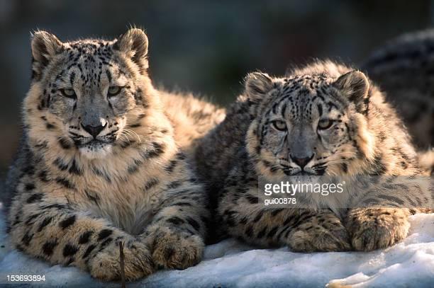 leopardo delle nevi - leopardo delle nevi foto e immagini stock
