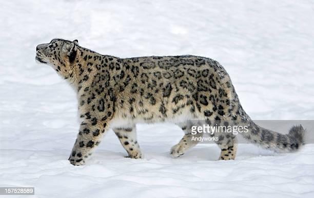 leopardo delle nevi (panthera uncia) - leopardo delle nevi foto e immagini stock