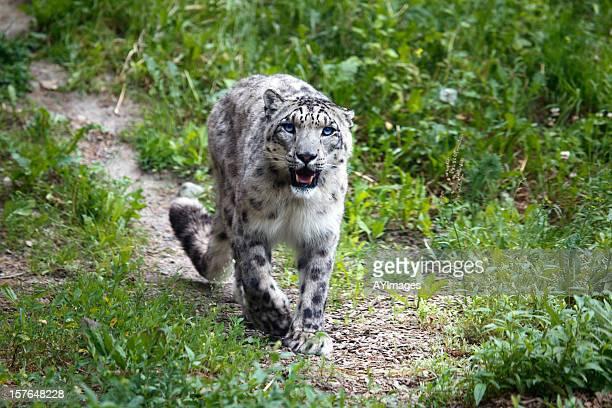 leopardo delle nevi (uncia uncia - leopardo delle nevi foto e immagini stock