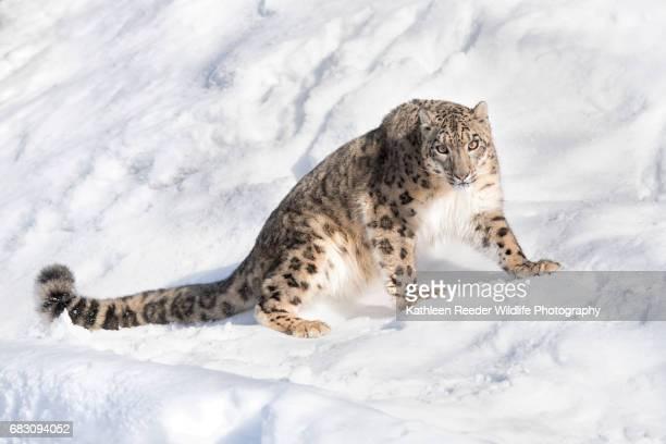 snow leopard - leopardo delle nevi foto e immagini stock