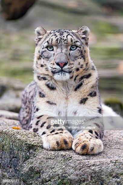 Snow leopard resting on a rock