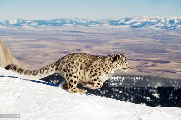 Snow Leopard (Uncia uncia) running in snow, Montana USA (Animal Model)