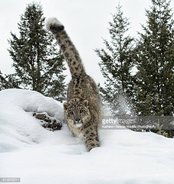 Snow Leopard Running