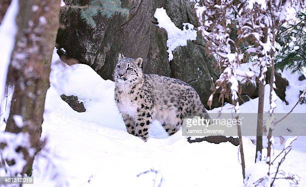 Snow leopard seen at Bronx Zoo on January 3 2014 in New York City