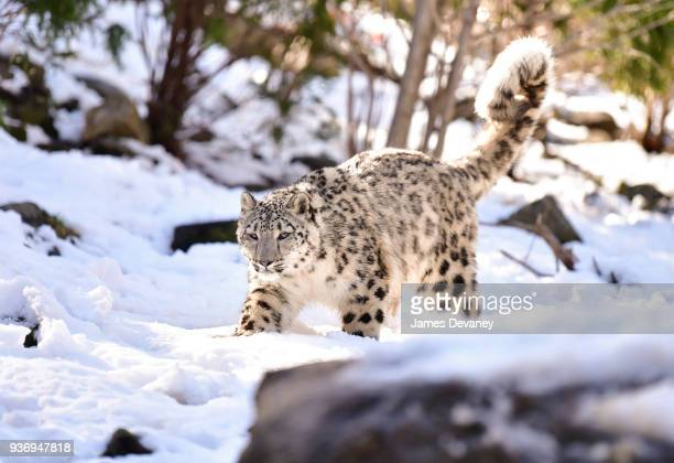 A snow leopard seen at the Bronx Zoo on March 22 2018 in New York City