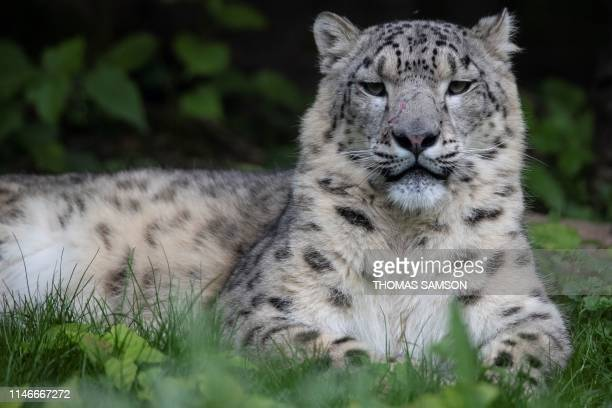 A Snow Leopard sits in an enclosure on May 23 in the Parc des Felins zoological park in LumignyNesleOrmeaux east of Paris