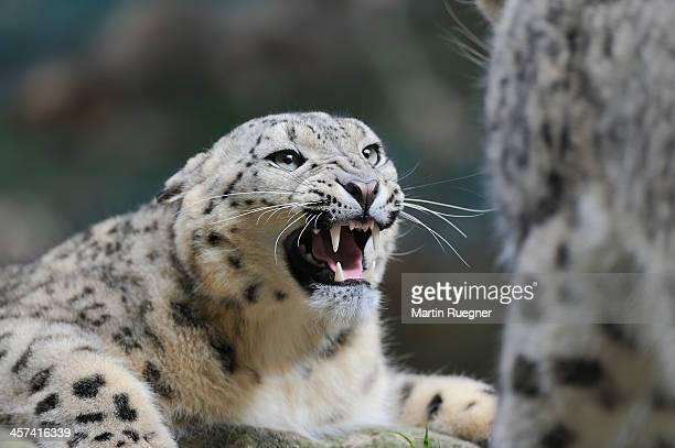Snow Leopard snarling.
