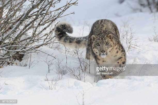 A snow leopard walking through the snow.