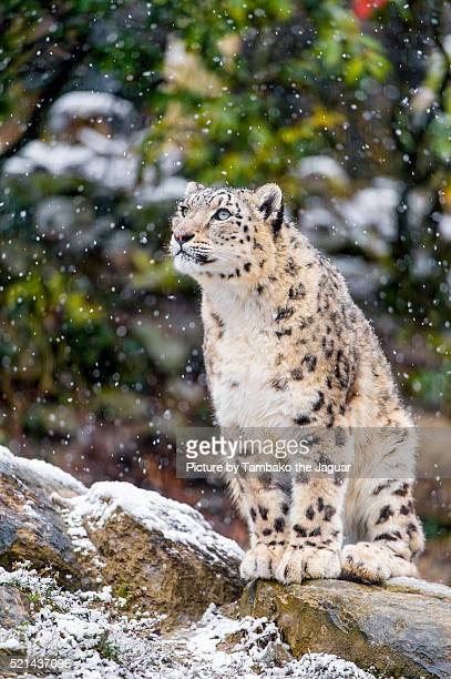 Snow leopard watching the snow fall