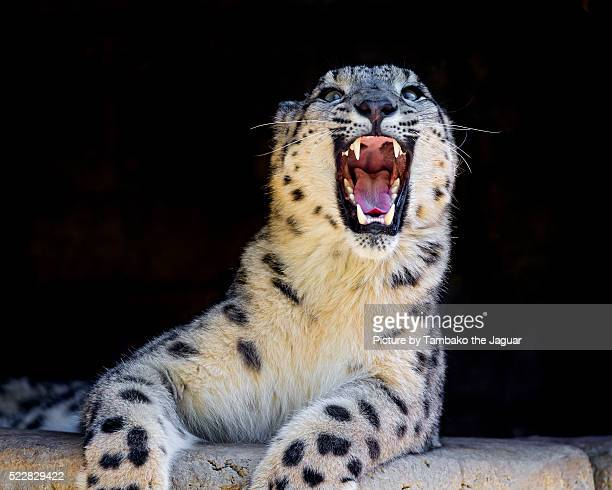 Snow leopard with wide open mouth