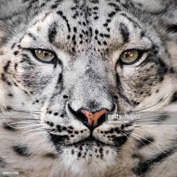 snow leopard xxvi - leopardo delle nevi foto e immagini stock
