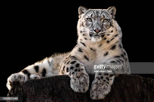 snow leopard xxx - leopardo delle nevi foto e immagini stock