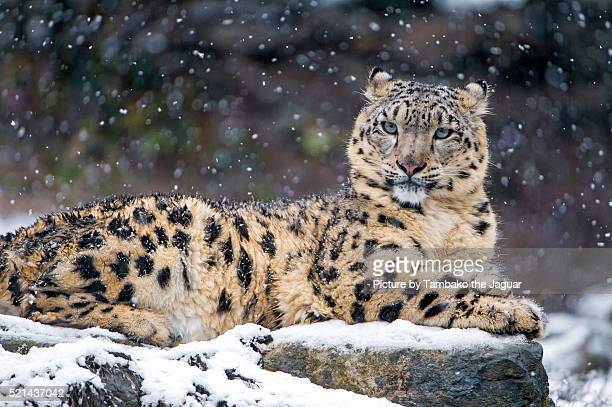 Snow leopardess on a rock