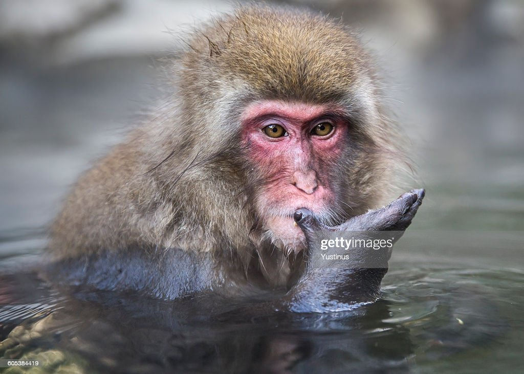 snow monkey bathing and looking at hand  in hot spring, Nagano, Honshu, Japan : Stock Photo