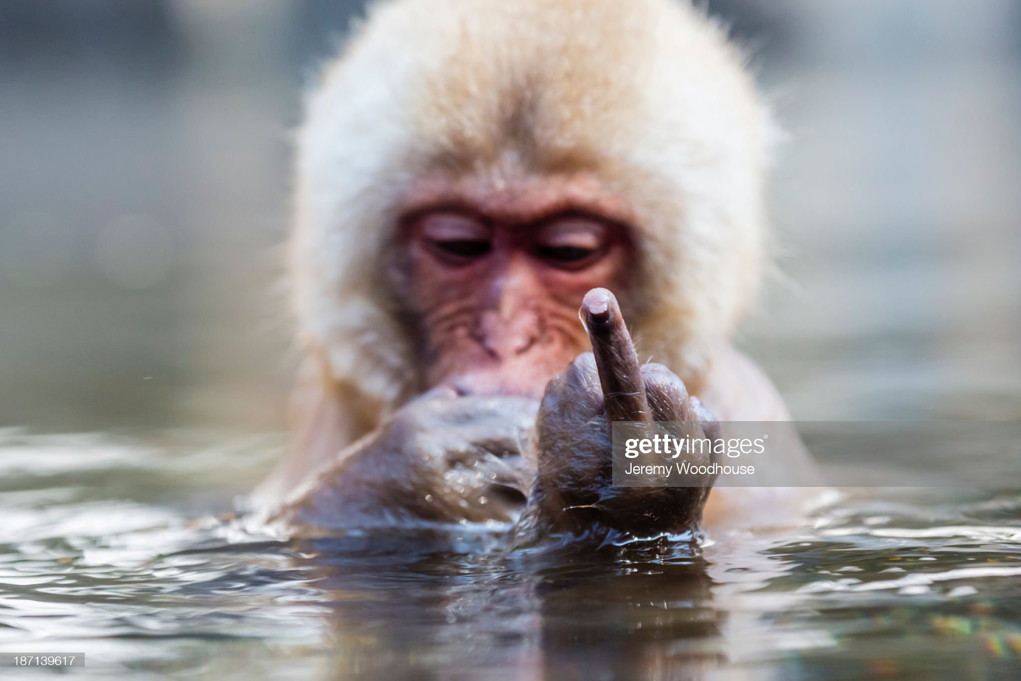 Snow monkey bathing in hot spring : Photo