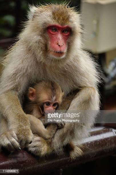 Snow monkey cradling