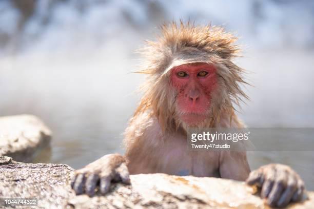 snow monkey in snow monkey park - マカク属 ストックフォトと画像