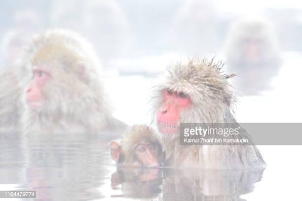 snow monkey japan - 猿 ストックフォトと画像
