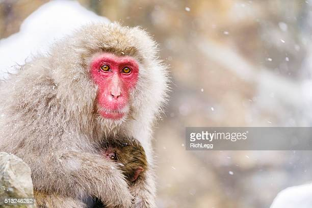 Snow Monkey Mother in the Wild