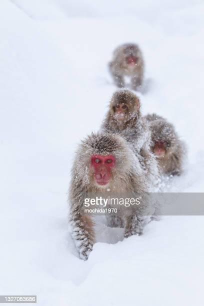 snow monkey - mammifero foto e immagini stock