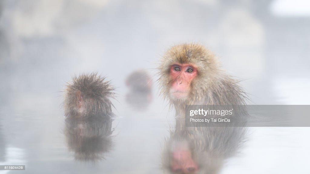 Snow Monkey : ストックフォト
