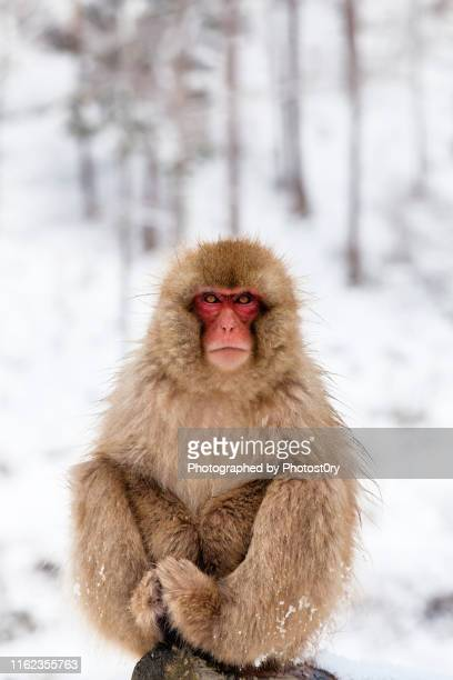 snow monkey portrait - マカク属 ストックフォトと画像