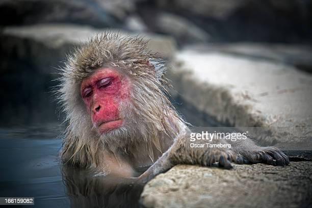 Snow monkey relaxing