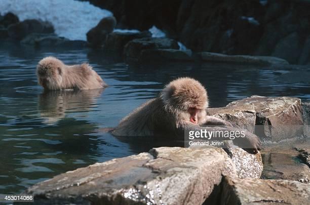 Snow monkeys in the Jigokudani Wild Monkey Park or Jigokudani YaenKoen Jigokudani literally means hell's valley and is situated in the Joshinetsu...