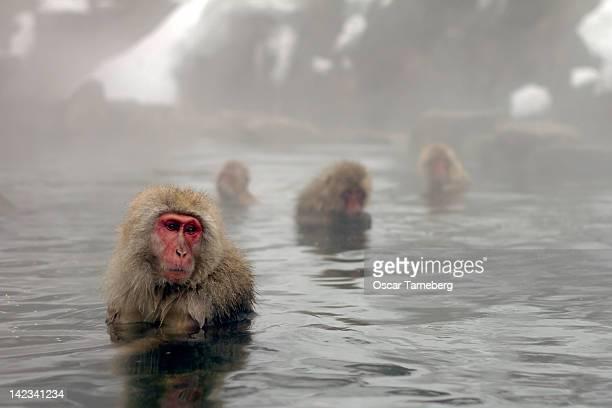 Snow monkeys, Nagano
