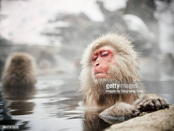 snow monkeys soaking in hot spring - primate stock pictures, royalty-free photos & images