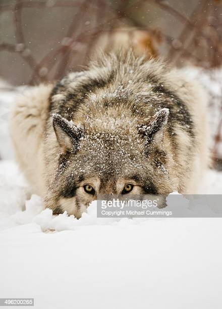 snow nose. - michael wolf stock photos and pictures