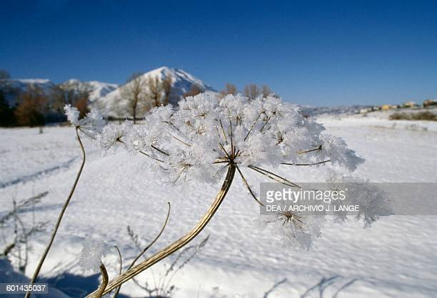 Snow on an inflorescence, with a snowy mountain landscape in the background, Abruzzo, Italy.