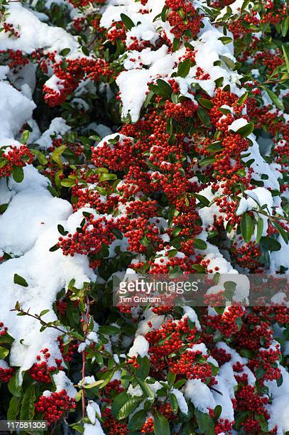 Snow on evergreen Pyracantha red column firethorn bush in snowy weather in the village of Swinbrook The Cotswolds UK