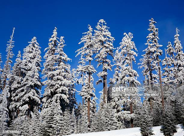 snow on fir trees. - dan sherwood photography stock pictures, royalty-free photos & images